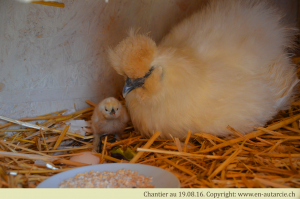 19.08.16 Première naissance à Châtillon. Félicitations à Carotte pour ce beau petit poussin (race Blanche de Soie).